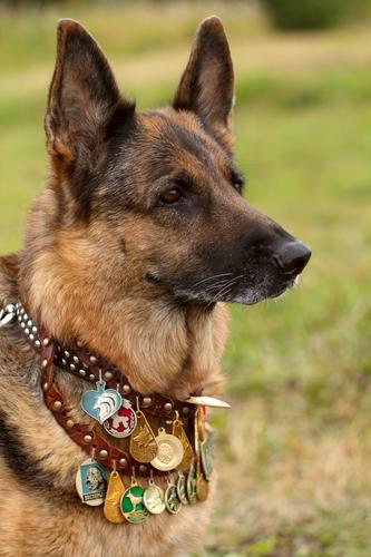 german shepherd soldier