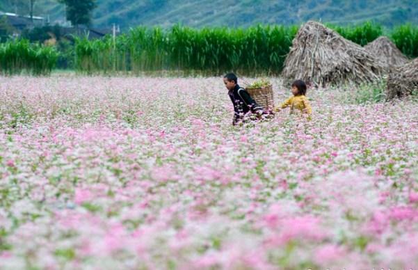 Hoa tam giác mạch ở Hà Giang- Ảnh của ai đây xin cho tôi mượn đăng ở đây. Xin cám ơn