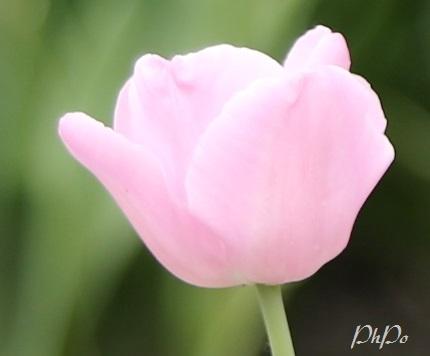 phpo tulip p