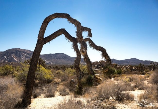 mai-2016-calif-joshua-tree-1x5-p-p