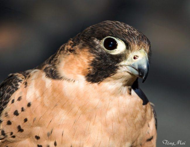 tongmai-2016-conowingo-for-blog-bird2
