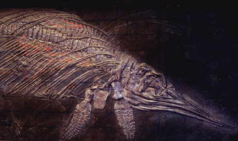 Pregnant ichthyosaur fossil showing three skeletons of young inside her body