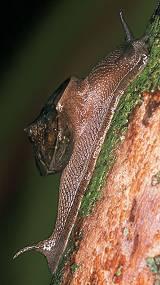 Euplecta travancorica