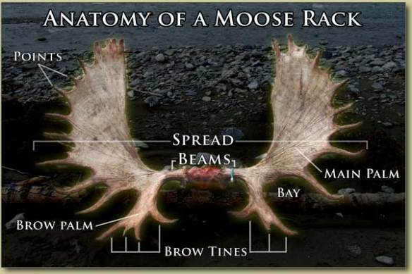 judging-trophy-moose-racks