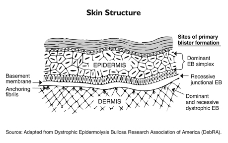Skin Layers Diagram Quiz Best Skin In The Word 2018