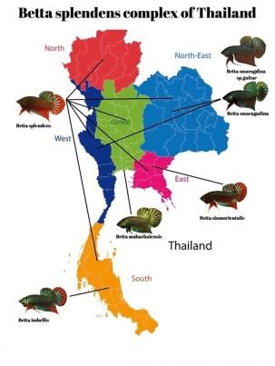 Persebaran Cupang di Thailand
