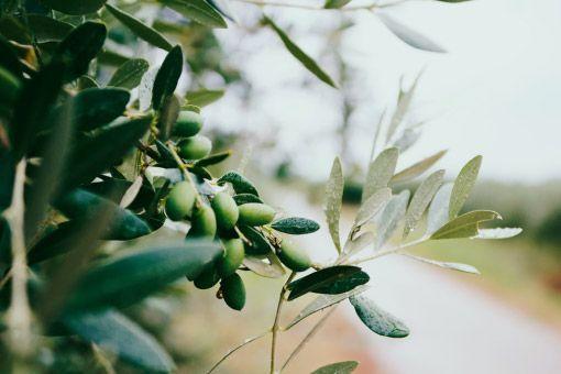 Creación de marca de Aceite de oliva virgen extra premium gourmet y packaging por Nicecream estudio creativo