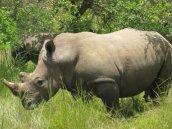 african-rhino crop-smart