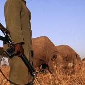 african-rhino gaurded
