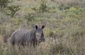 poaching in keya. what a waste rhino alive