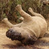 poaching in keya. what a waste rhino dead