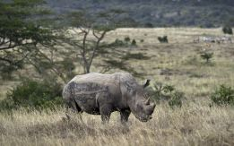 poaching in keya. what a waste rhino horn trimmed