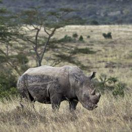 poaching in keya. what a waste rhino horn trimmed