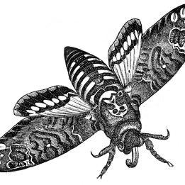 moth deaths head graphics fairy