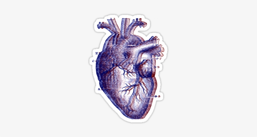 Anatomical Heart By Dandelionnwine Human Heart Drawing Transparent Png 375x360 Free Download On Nicepng