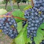 Wein aus Wolkersdorf