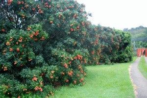 The lychee orchard of Ted and Liz Knoblock, in Boambee South, mid-north coast NSW