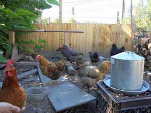 Some of the 15 chickens, VK Urban Farms, Southside Chicago
