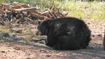 big-black-bear