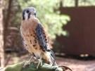 bird-of-prey-bearizona