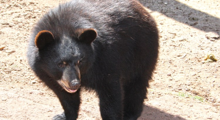 A baby Brown bear cub at Bearizona wildlife park.