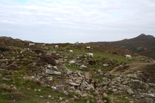 Wild horses on St David's Head
