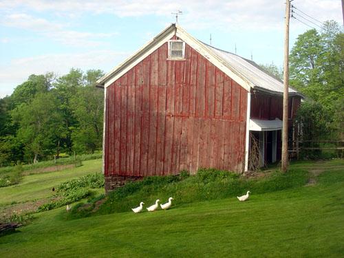 fokish farm duck parade