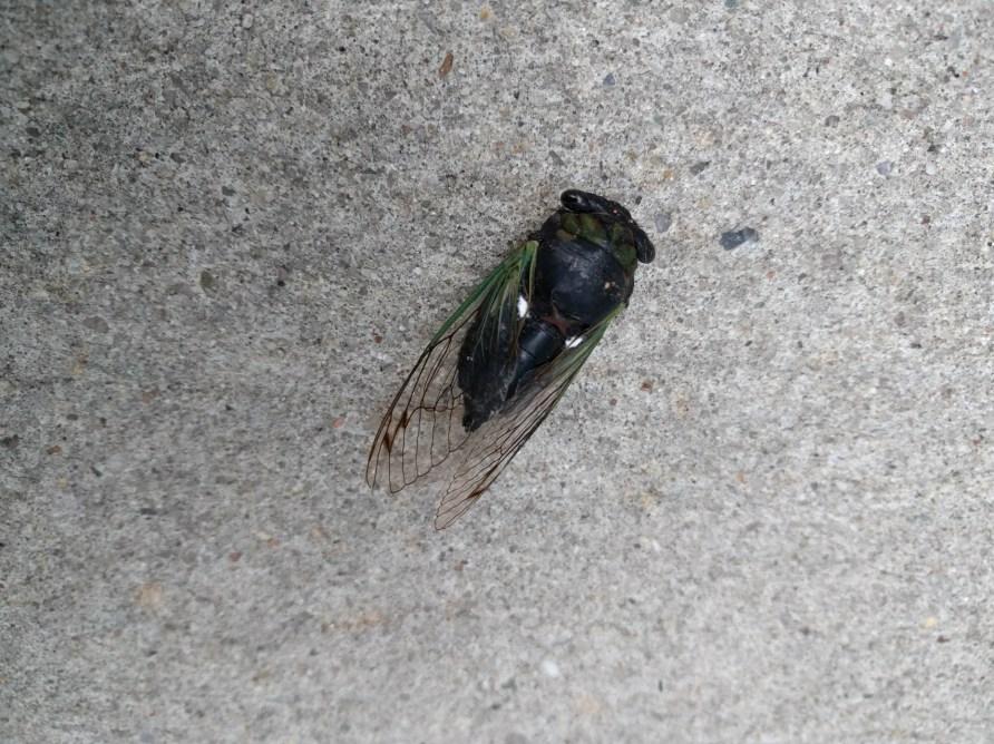 cicada expired