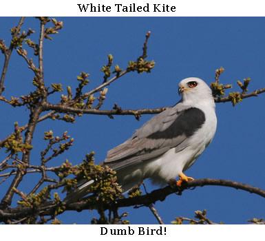 whitetailekite