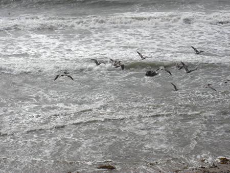 pelicans2208