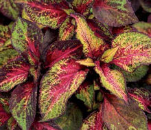 Coleus. Kong Rose Lime Magic 10 pellets