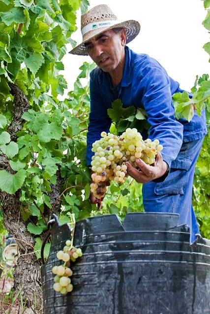 Grape Harvest in the Penedès wine region of Spain. August 2009. Image 02