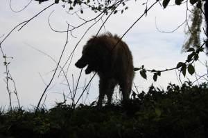 Chien Howavart dans une forêt