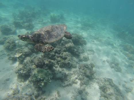 A Turtle on the Great Barrier Reef