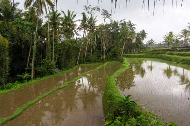 The rice fields next door to Sandat Glamping Resort, Ubud.