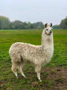 Hensting Alpacas resident llama