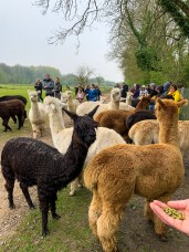 At then end of the alpaca walk with Hensting Alpacas the animals are let out to graze, you can say thank you to them by offering a snack.
