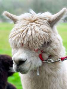 A portrait image of Walter the alpaca