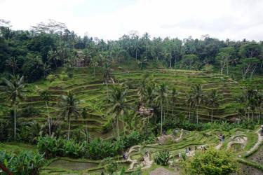 Tegalalang Rice Terraces.