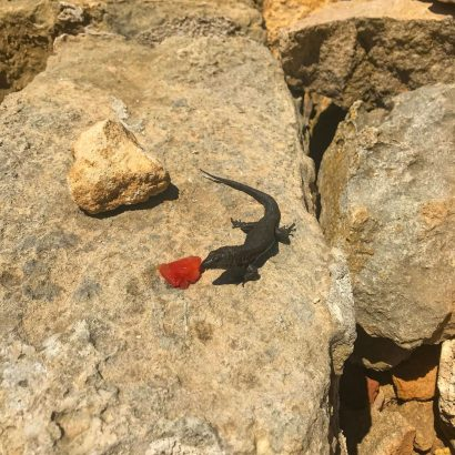 A black lizard on Illa de l'Aire, Menorca