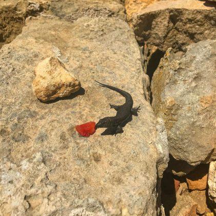 A black lizard on Illa de l'Aire, Menorca