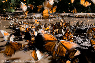 The miracle of monarchs