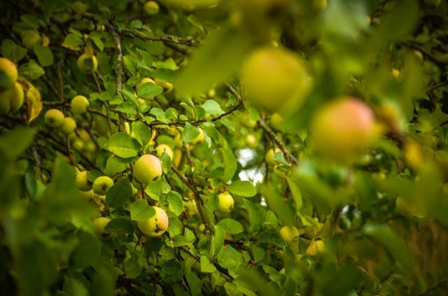 Obelis kapinių pašonėje jau veda gardžius vaisius