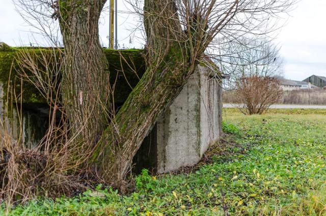 Medis, įleidęs šaknis tiesiai prieš ambrazūrą