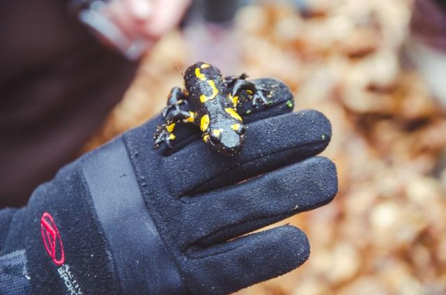 Nuodinga ugninė salamandra