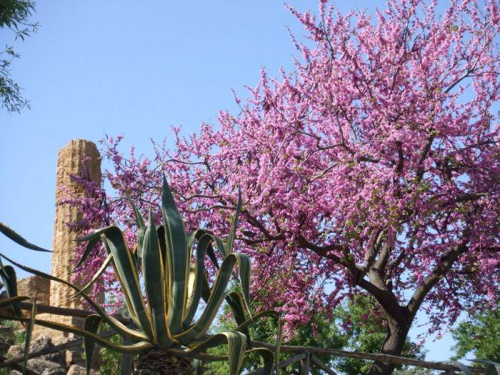 Pory roku na Sycylii, Sycylia, Trapani, pory roku, lato na Sycylii, wiosna na Sycylii, jesień na Sycylii, zima na Sycylii, wiosna, lato, jsień, zima, Kwitnący migdałowiec, migdałowiec,