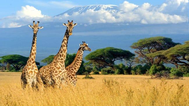 Meraviglie-del-Kenya-giraffe-650x366