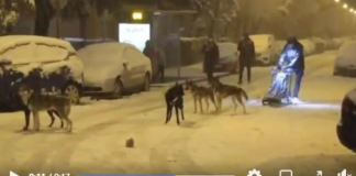 El musher entrena por Madrid en plena nevada