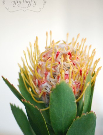 protea from {nifty thrifty things}