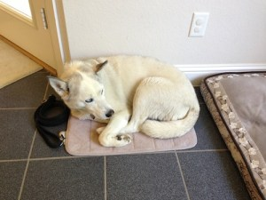 Sidnei, Siberian Husky, favorite mat, almost fit